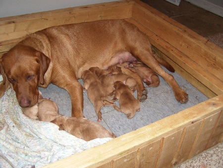 Red Lab Puppies
