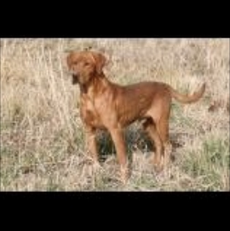 fox red pointing lab male